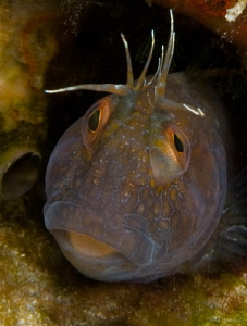 Seaweed Blenny  @ Blue Heron Bridge FLA by John Roach 